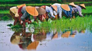 Il Viaggiatore Magazine - Raccoglitrici di riso, Vietnam