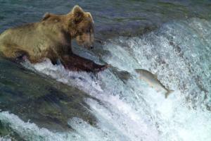 IlViaggiatoreMagazine-Orso bruno-Alaska-USA-Cosa vedere in Alaska