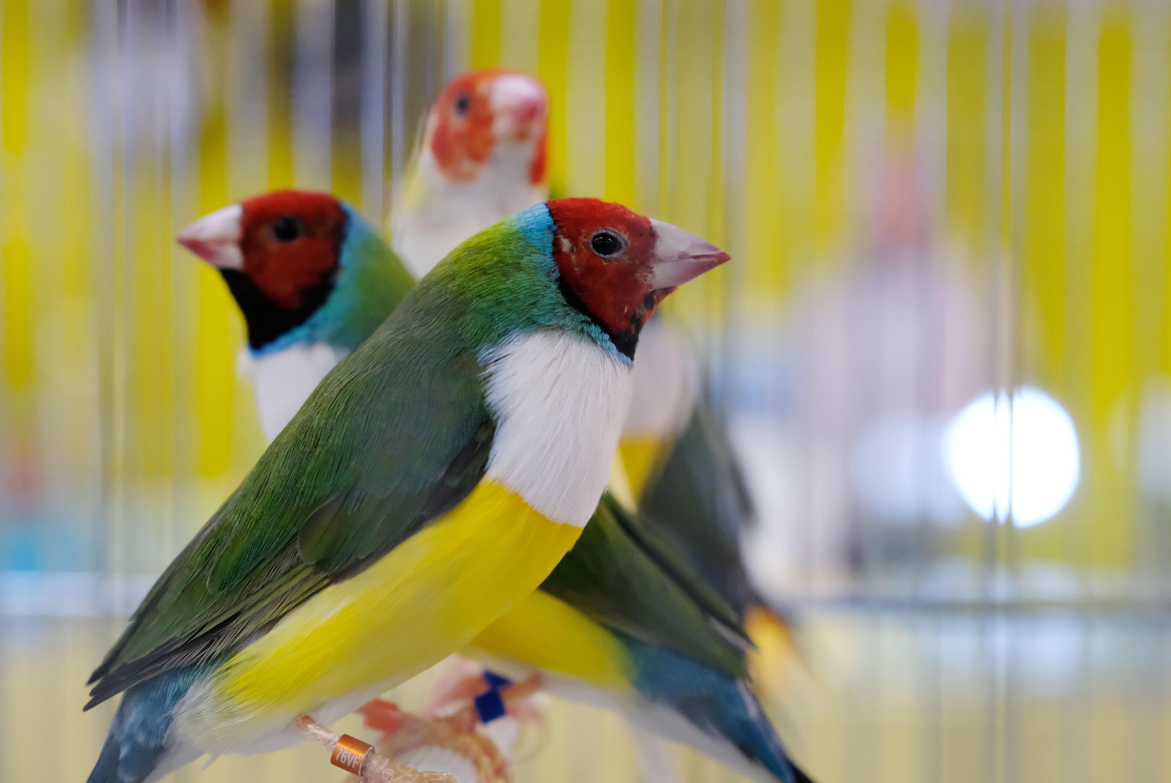 Uccellini esotici in mostra-Verdi passioni-Fiera di Modena-Foto Elisabetta Baracchi