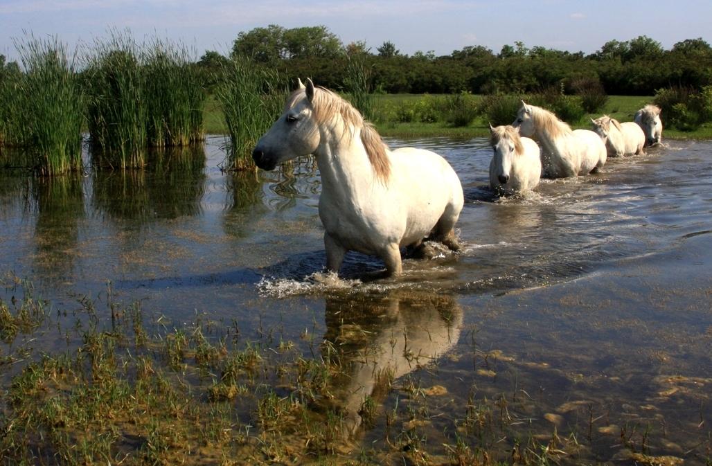 Cavalli Camargue-Isola della Cona-Foto Candotto