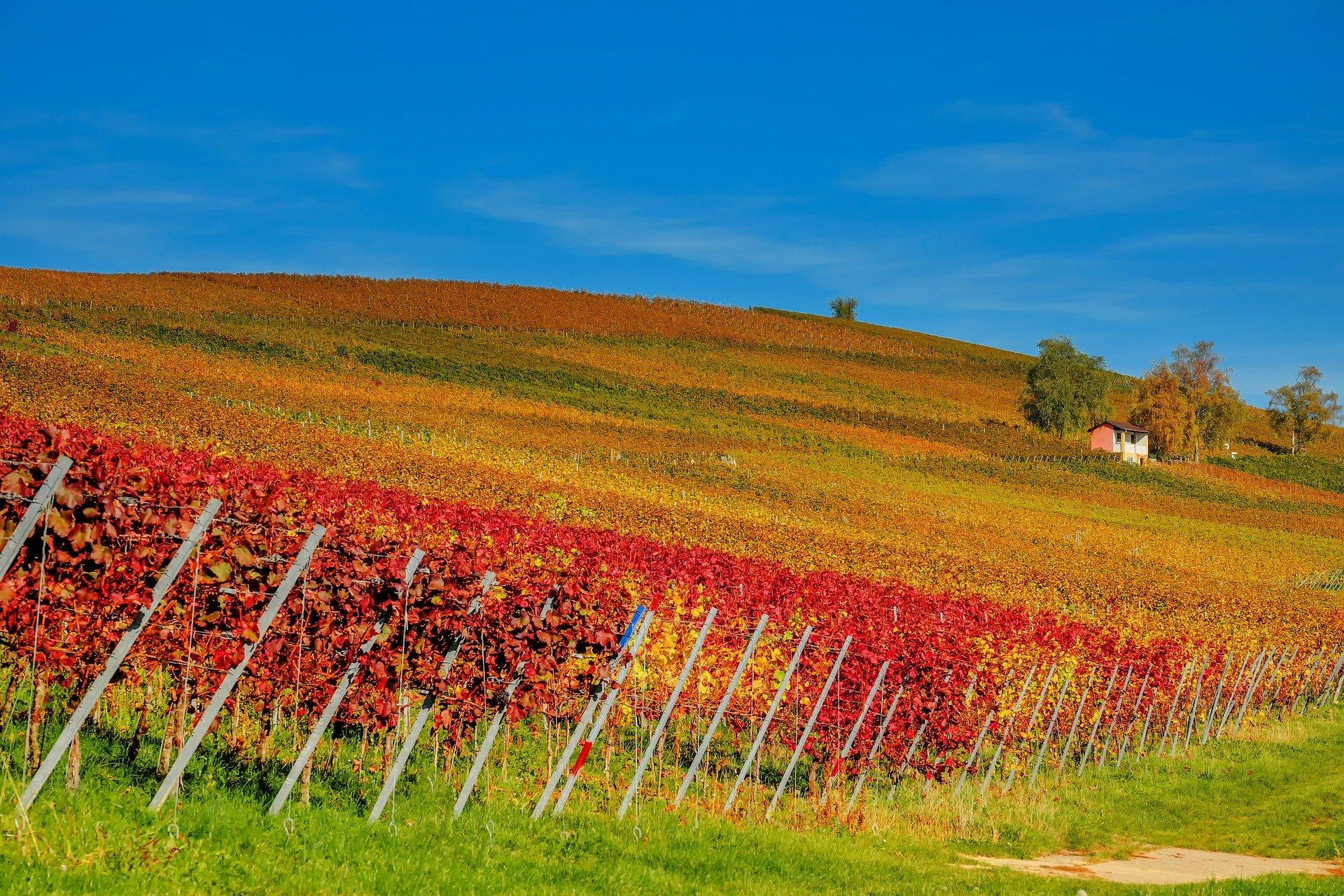 Filari nel Monferrato-Asti-Vendemmia in Piemonte